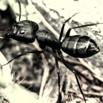 A worker ant as you might find in a great ant farm.